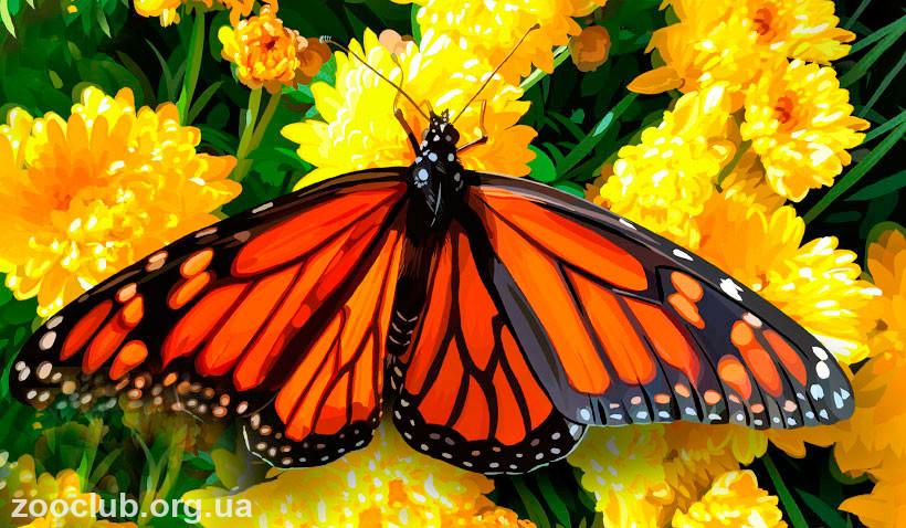 Данаида монарх бабочка