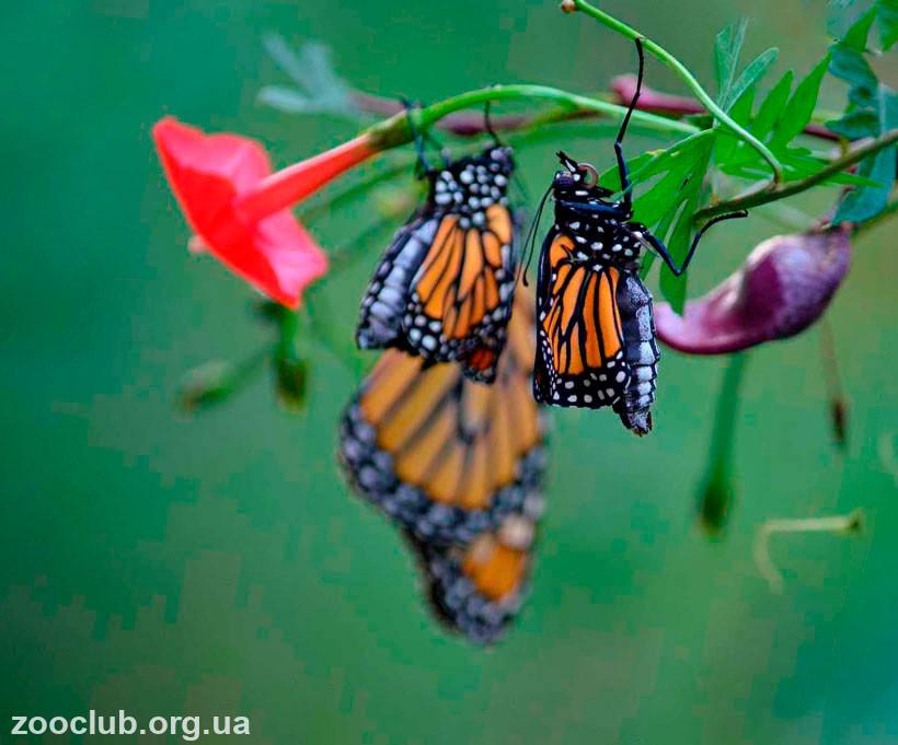бабочка монарх где обитает