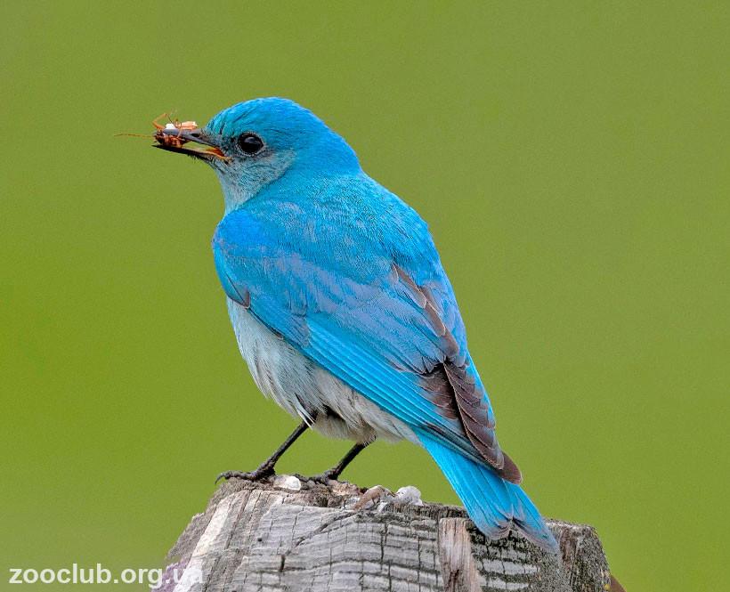 Фото голубой сиалии