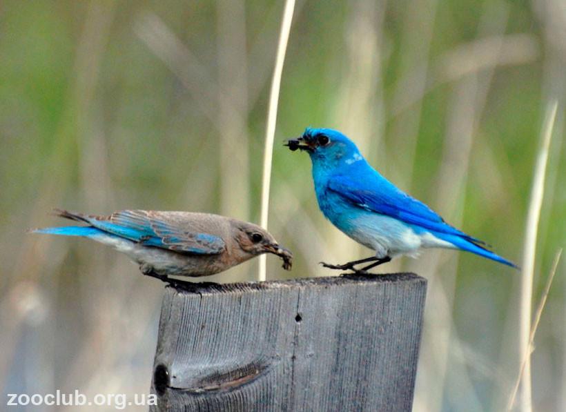 сиалия голубая
