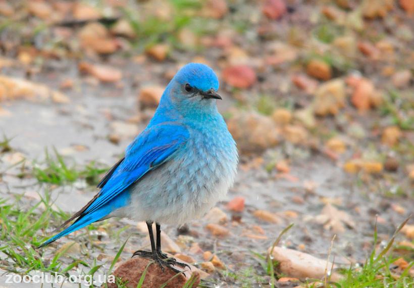 Лазурные птицы