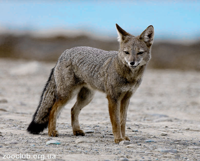 фото южноамериканской лисицы