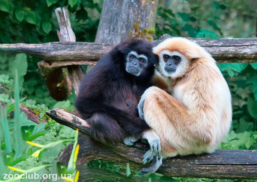 гиббон обезьяна фото