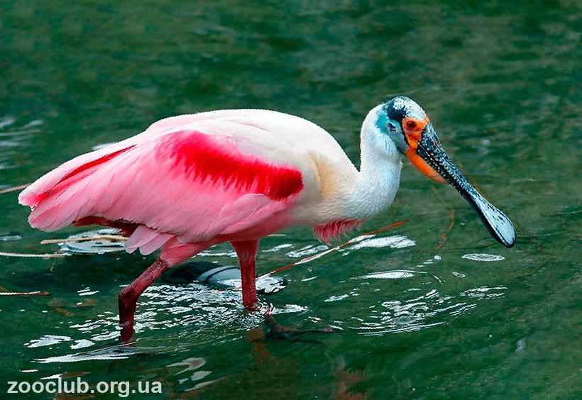 розовая птица название