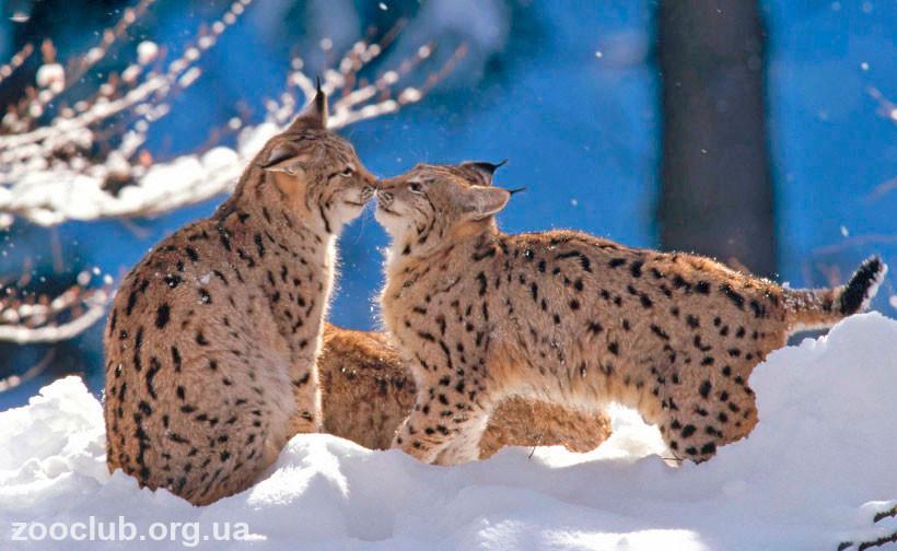 фото Lynx lynx
