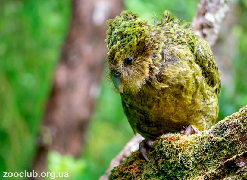 интересные факты о попугае какапо