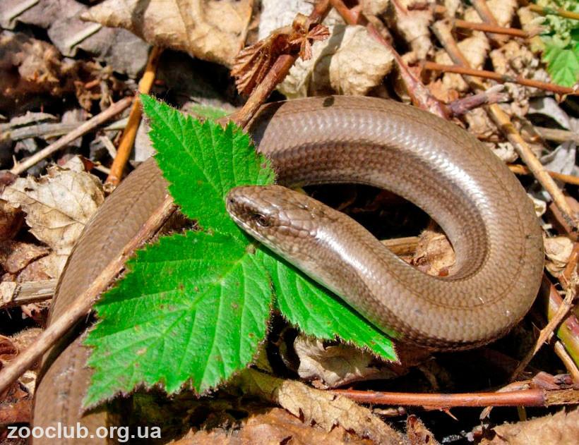 ящерица похожая на змею