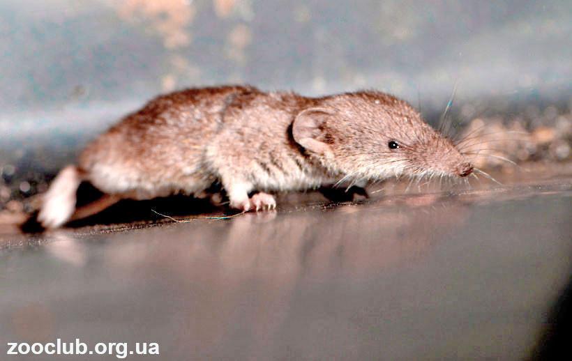 Самое маленькое животное в мире википедия