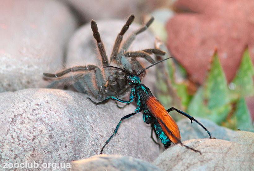 Ястребиный тарантул
