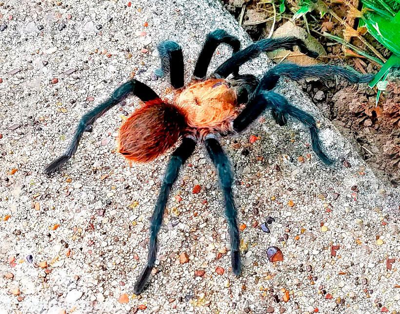 Фото техасского коричневого тарантула