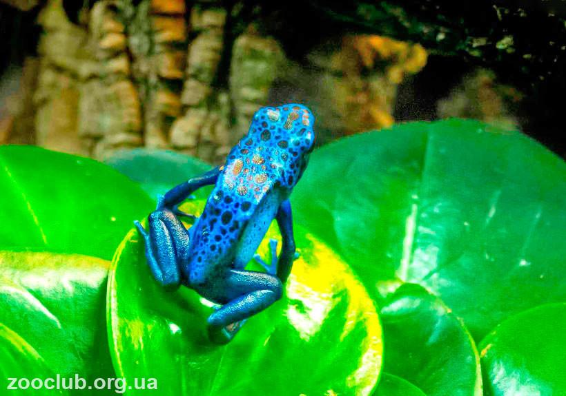 древолаза голубого фото