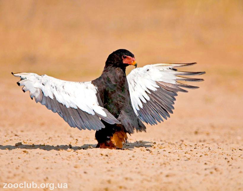Фото орла-скомороха