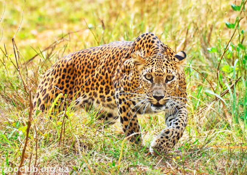 чем питаются леопарды