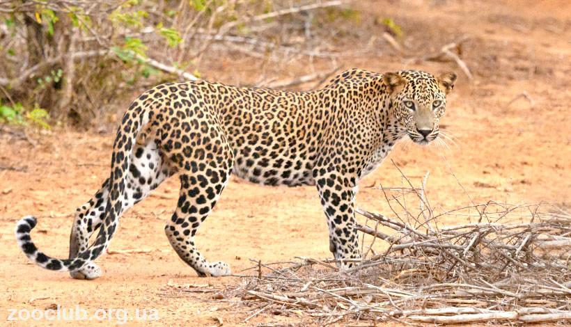 фото африканского леопарда