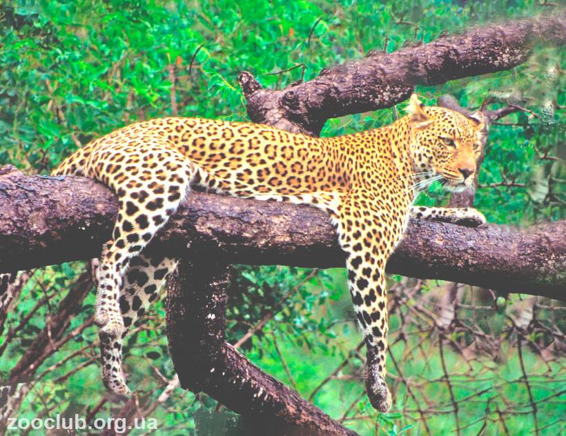 Среда обитания леопарда