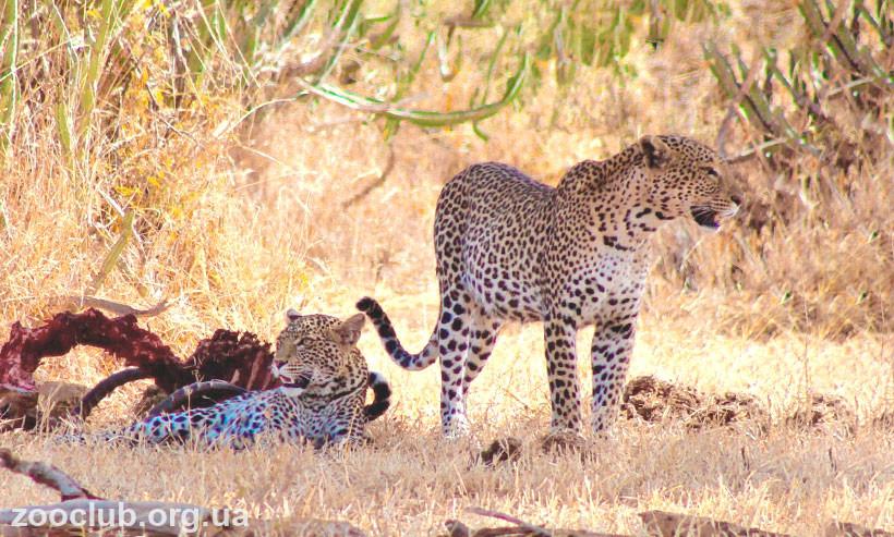 леопард - интересные факты