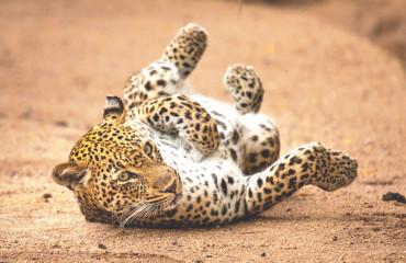 Леопард африканский