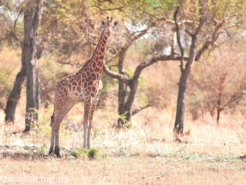 где живет жираф