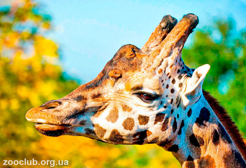 особенности жирафа