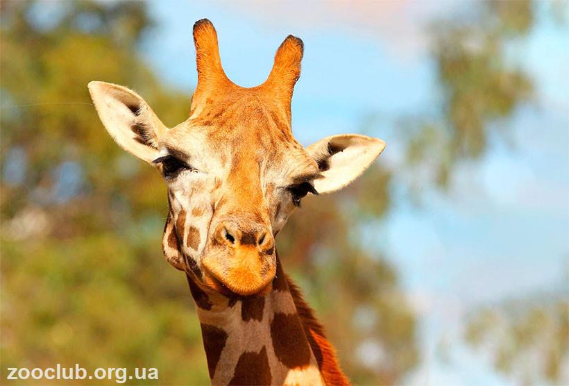 жираф рога
