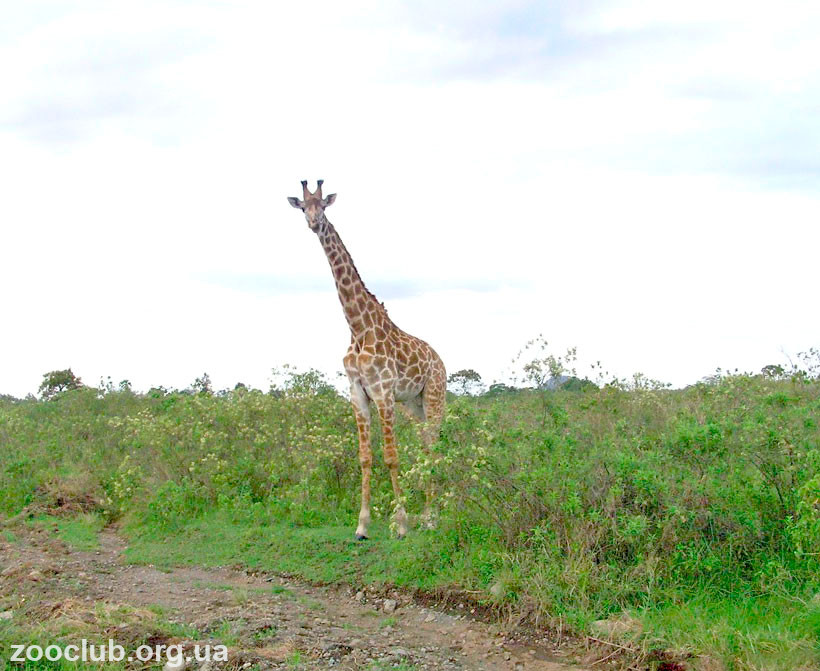 жираф рост самец