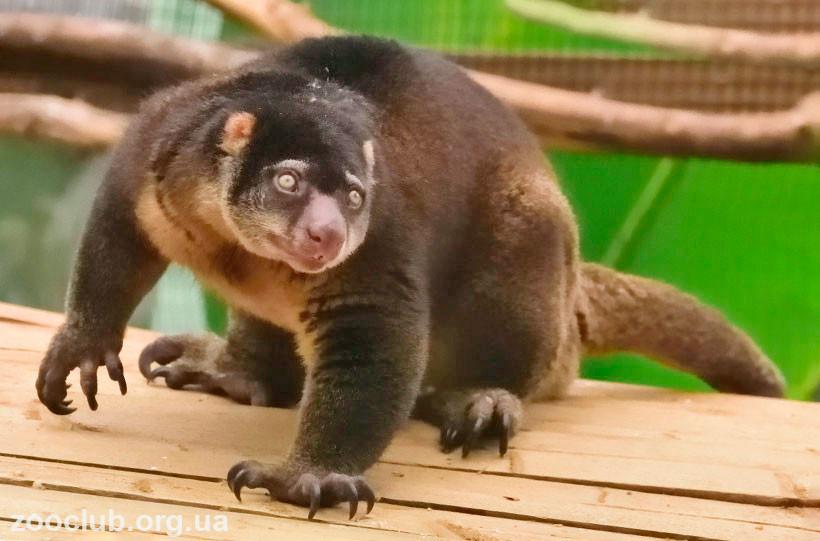 Кускус медвежий сулавесский фото