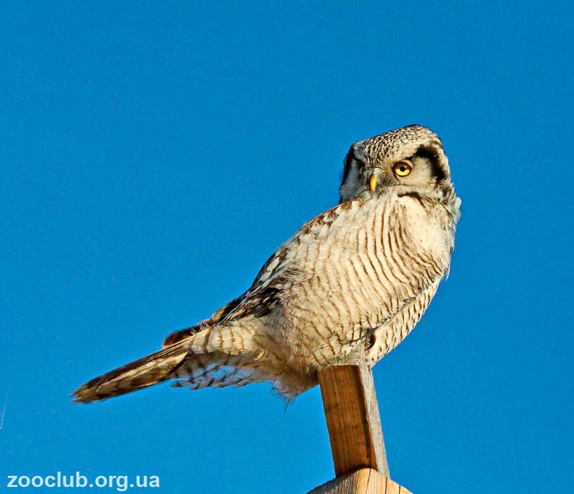 Фото ястребиной совы