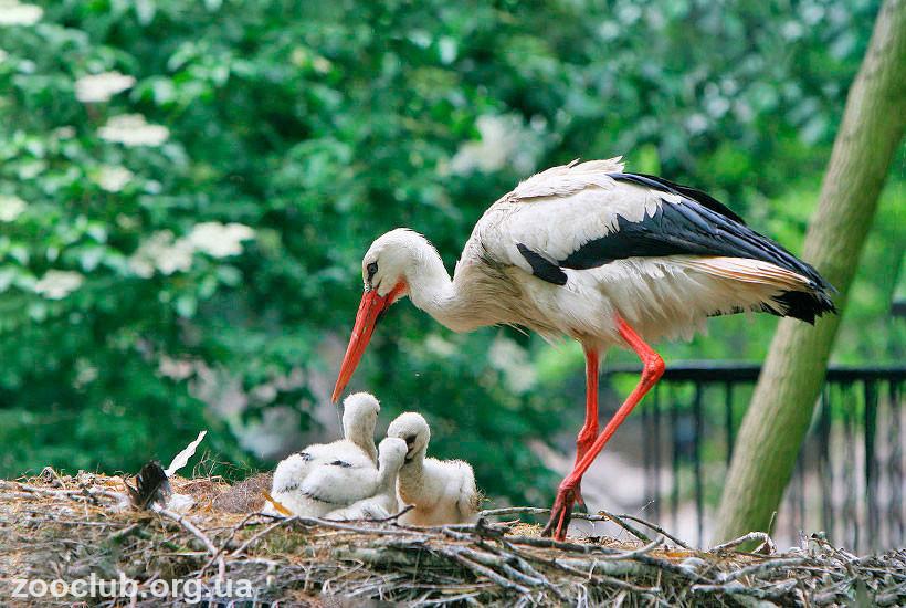 среда обитания белого аиста