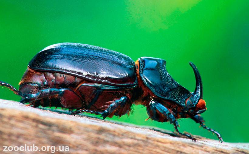 фото жука-носорога обыкновенного
