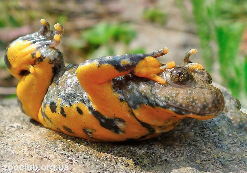 фото Bombina variegata