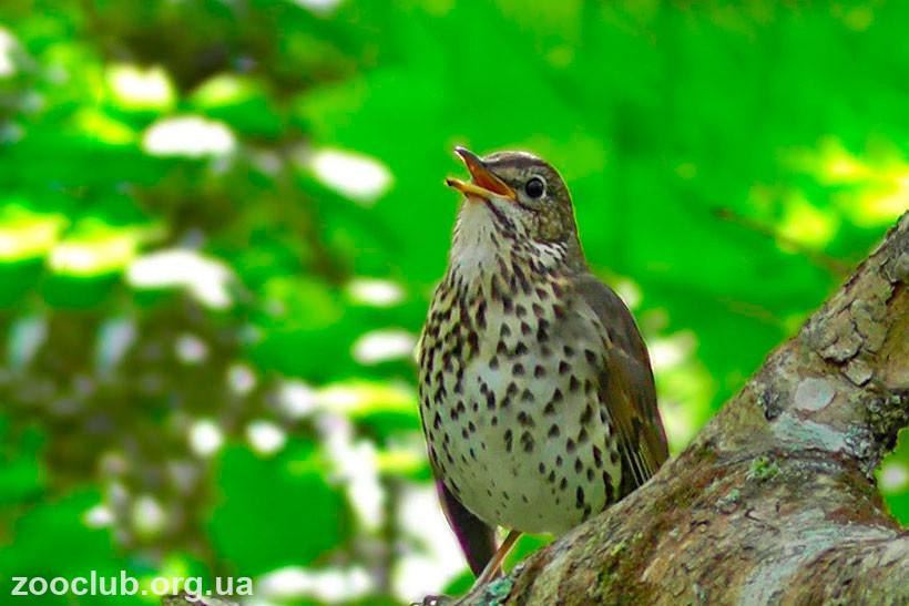 дрозд птица