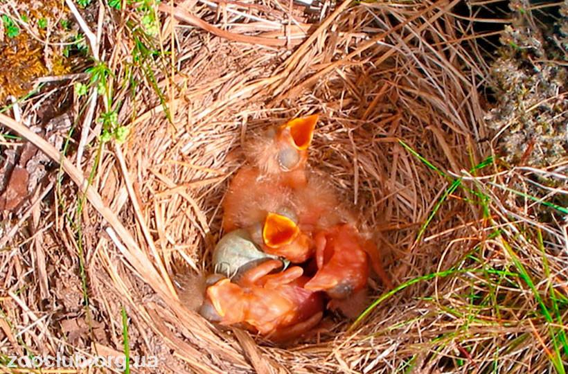 Дрозд-белобровик гнездо
