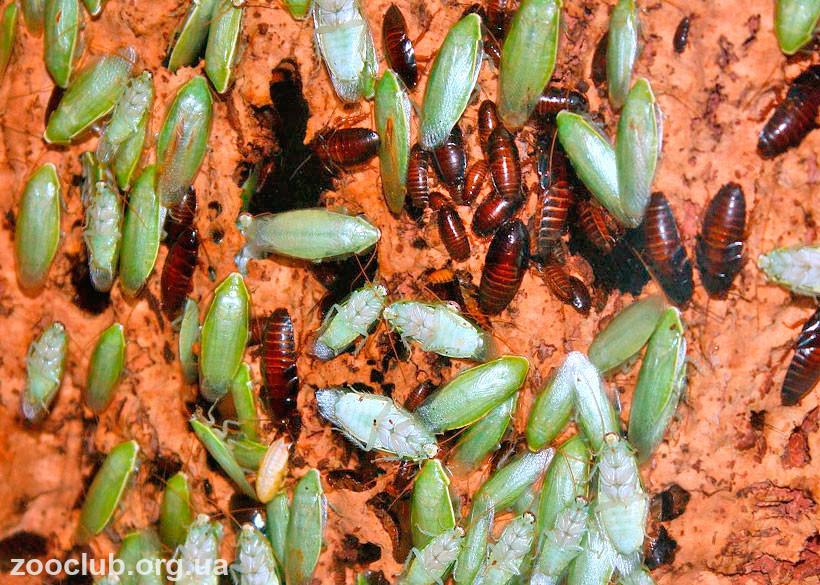 фото бананового зеленого таракана