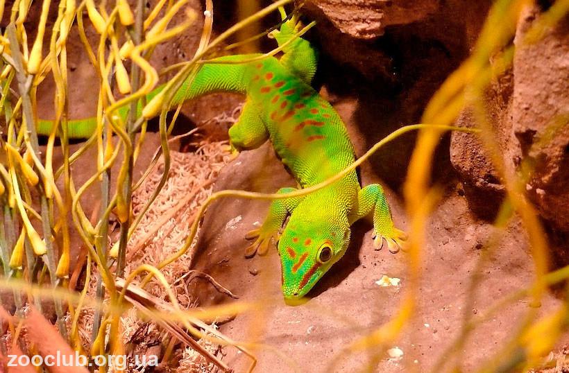 Мадагаскарский дневной геккон содержание
