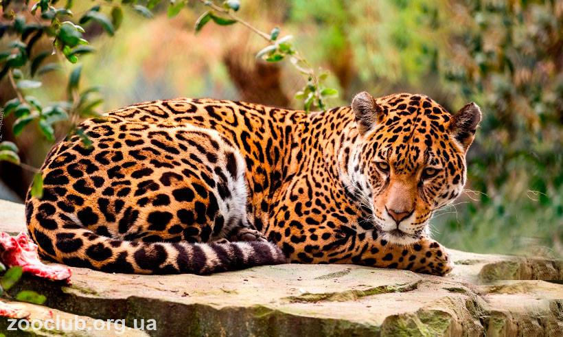 Ягуар где живёт