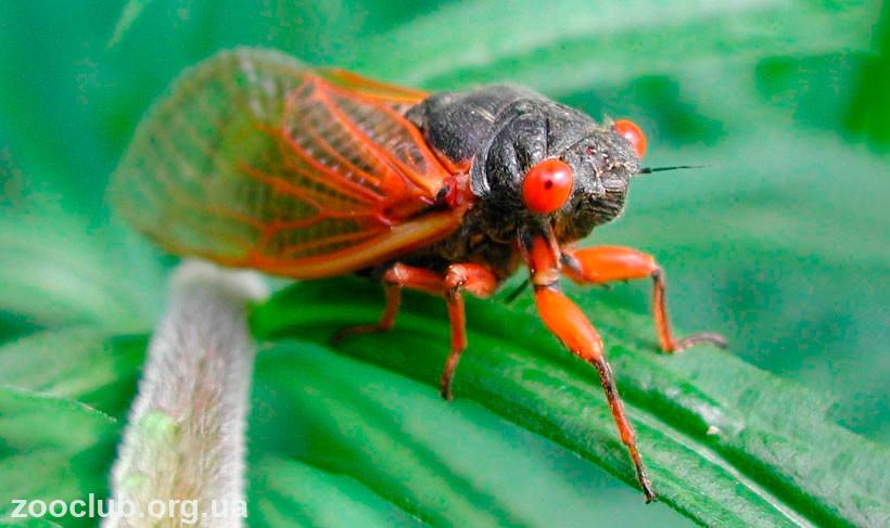 Чем питаются цикады