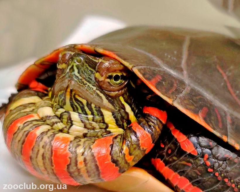Расписная черепаха фото