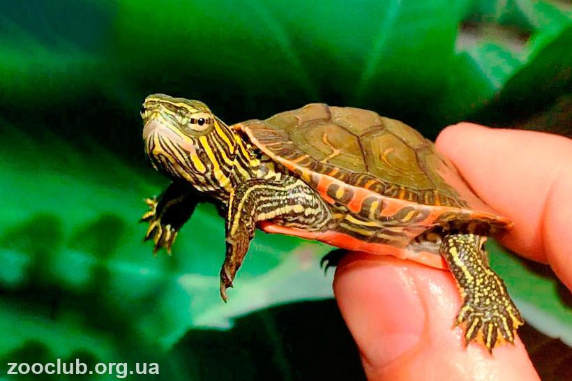 фото расписной черепахи