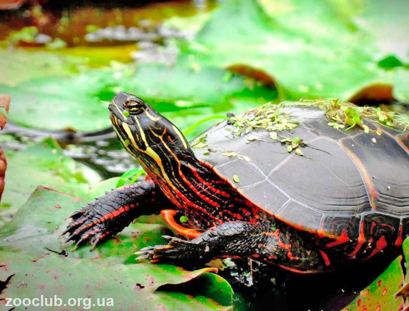черепаха расписная