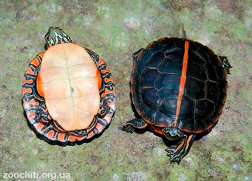 Декоративная черепаха