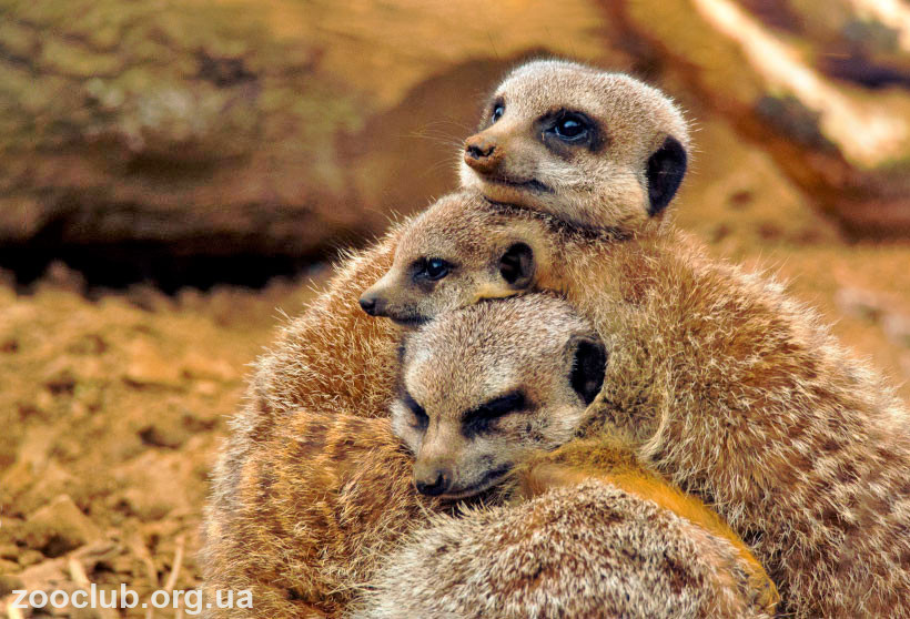 фото Suricata suricatta