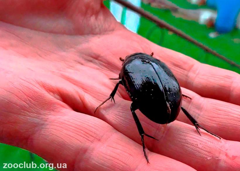 Большой черный жук дома