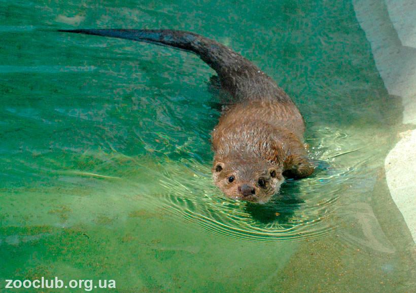 Фото выдры в воде