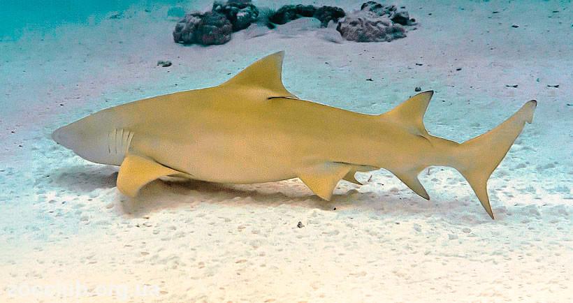 Лимонная акула опасна для человека