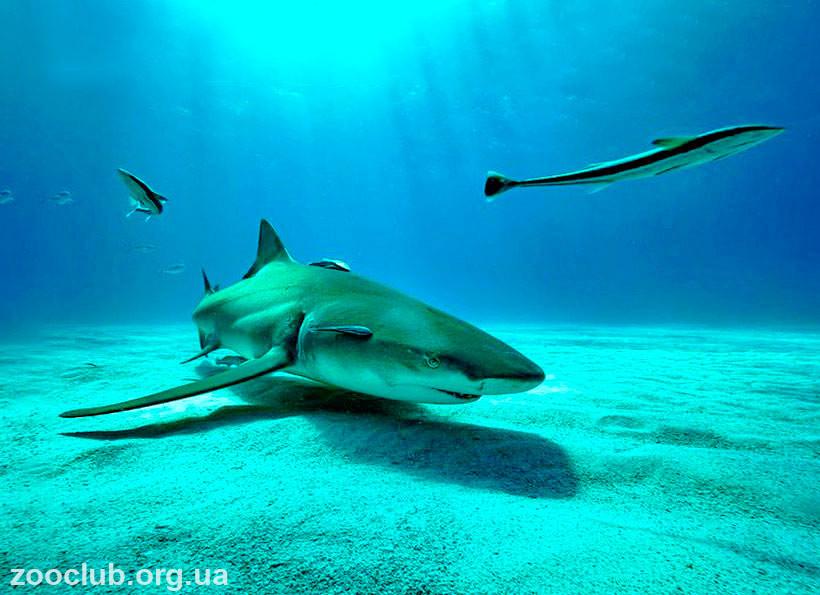 Лимонная акула интересные факты