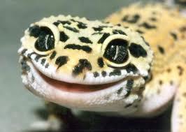 Леопардовый геккон фото