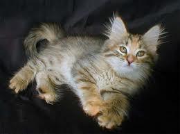 1326304819 kos3 Сибирская кошка