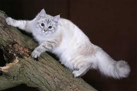 1326304856 kos1 Сибирская кошка