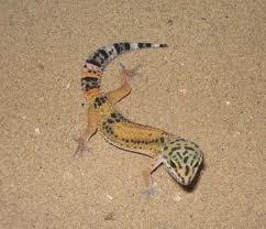 1326305392 1323955414 gecko4 Леопардовый геккон