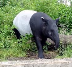 1327863363 tapir3 Тапир чепрачный
